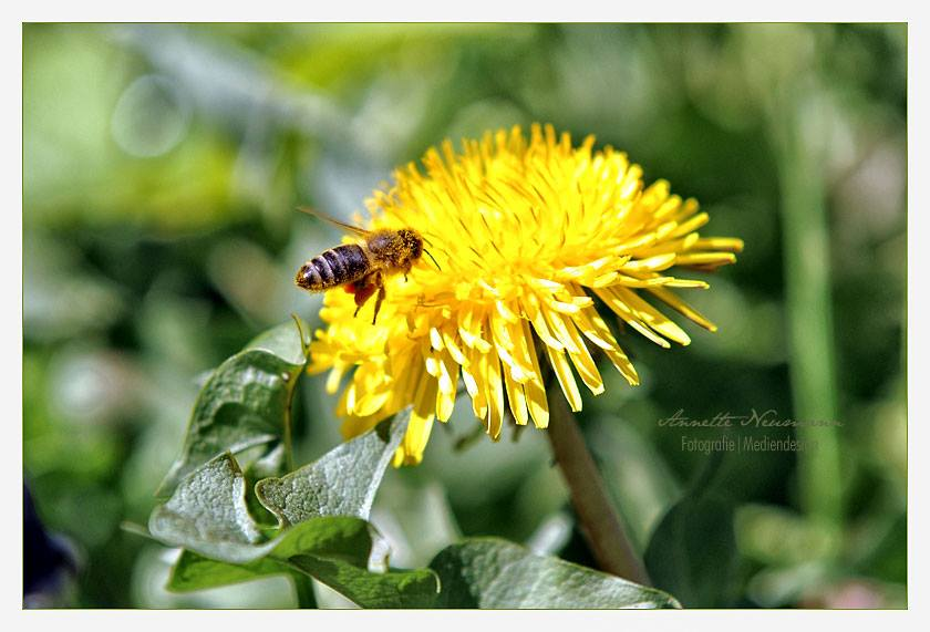 Biene im Landeanflug auf den Löwenzahn