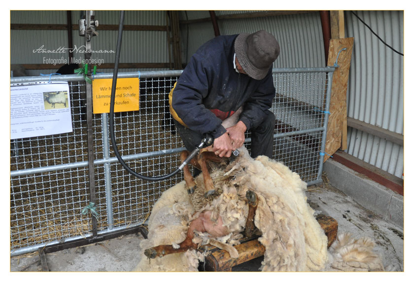 Schafscherer bei der Arbeit